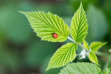 ladybird on nature. macro