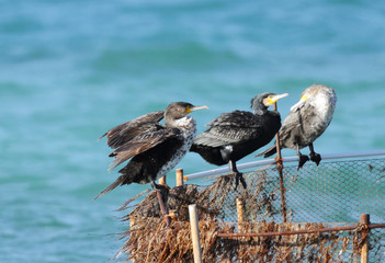 Beautiful great Cormorants relaxing and sleeping on fishing net