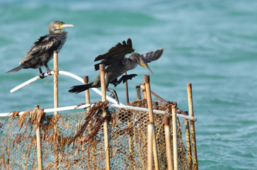 Cormorant landing on the fishing net