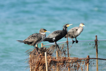 Three cormorants on the fishing net