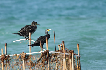 Two beautiful Cormorants