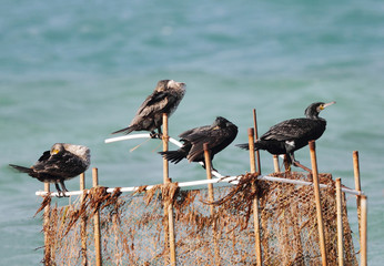 Cormorants resting and sleeping
