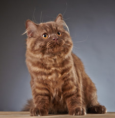 brown british longhair kitten