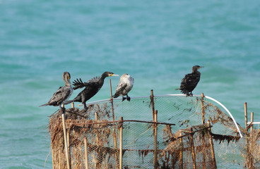 Cormorants resting on fishing net