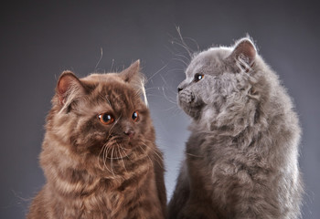 two british longhair kittens