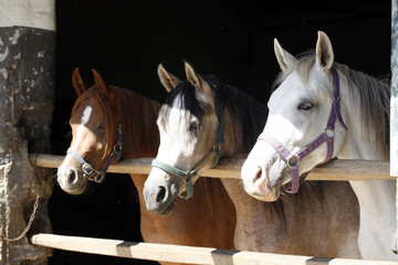 Arabian horses in stable