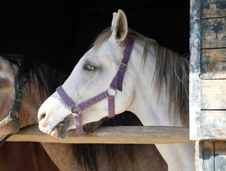 Arabian horse stallion portrait at the corral door