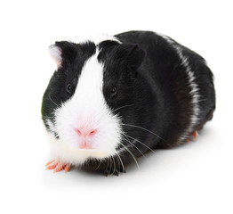 guinea pig on white background.