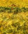 Obrazy na płótnie, fototapety, zdjęcia, fotoobrazy drukowane : Wheat, corn, barley and poppy