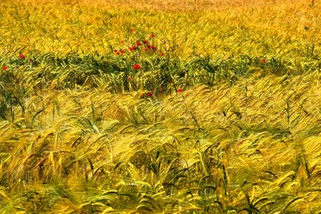Wheat, corn, barley and poppy
