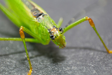 Macro shot of a beautiful Locust resting on a grass leaf