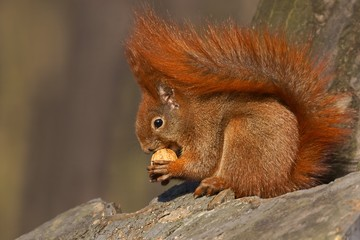 Red squirrel (Sciurus vulgaris) eating walnuts