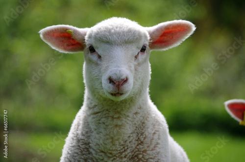 Papiers peints Sheep Babyschaf