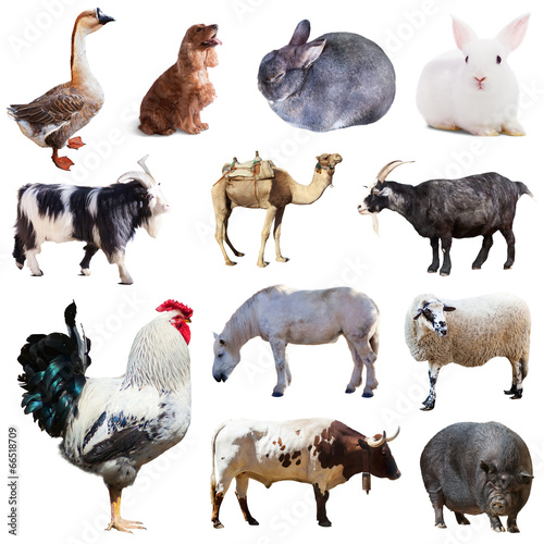 Poster Ezel Set of cock and other farm animals. Isolated over white