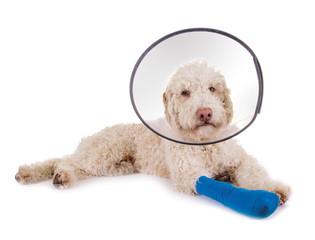 Hund mit Verband und Halskrause