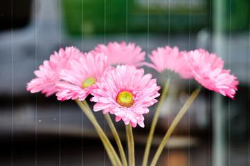 Gerbera Blumen im Fenster