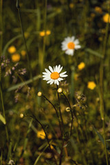camomile flower