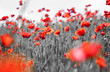 canvas print picture - Common poppy