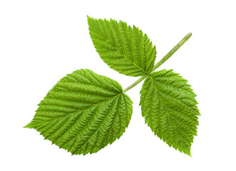 Raspberry leaf isolated