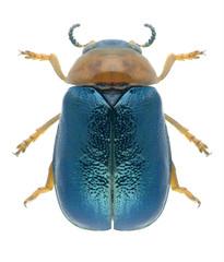 Beetle Smaragdina salicina