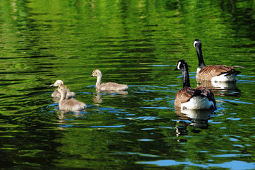Young Canadian Geese Swimming with Their Parents
