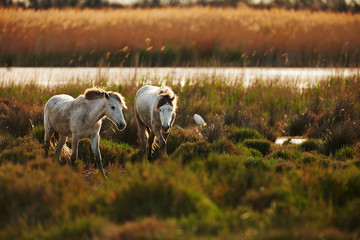 Two horses of Camargue