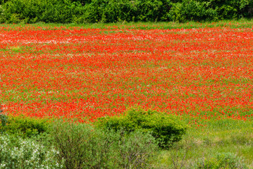 French landscape with poppy field in summer.