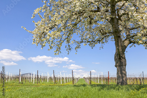 canvas print picture Frühling in den Weinbergen