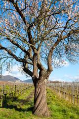 Ein alter Mandelbaum im Wingert