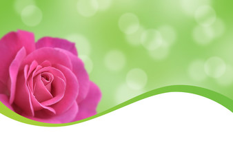 pink rose and green background