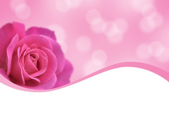 pink rose and pink background