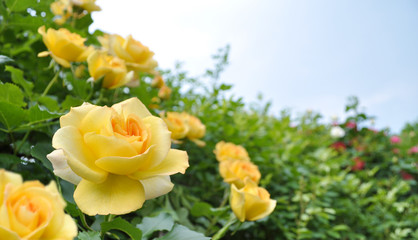Yellow rose vine