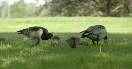 Two goose and three goslings 4K RAW FS700 Odyssey 7Q