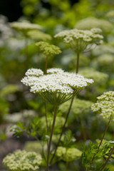 Flowering Moon Carrot