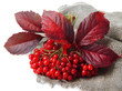 Red berries of viburnum on sackcloth napkin, isolated on white