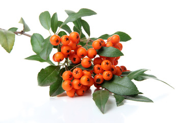 Pyracantha Firethorn orange berries with green leaves, isolated