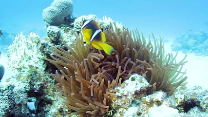Twoband anemonefishes and  anemone in the Red Sea, Egypt.