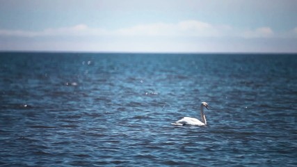 Swans in Baltic sea.
