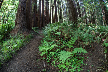 Trail Through Redwoods