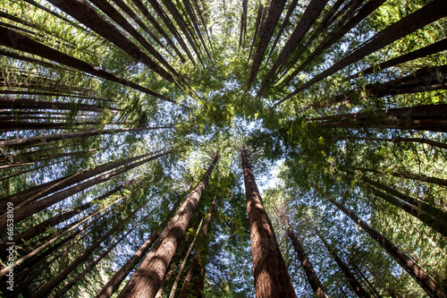 In de dag Bomen Giant Redwood Forest Canopy