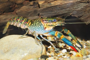 colorful Australian blue crayfish - cherax quadricarinatus
