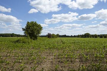 Feld mit jungen Maispflanzen