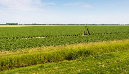 Landscape with a large potato field