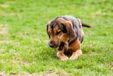 Mutt of puppy german shepherd dog poster