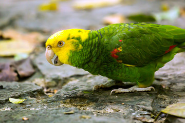 Portrait of Yellow-headed Amazon Parrot