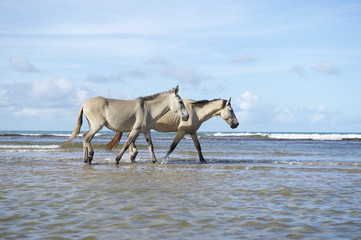 Brazilian Horses Walking on Beach in Nordeste Brazil