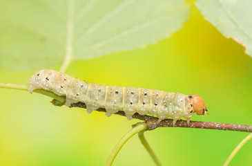 Caterpillar - Achlya flavicornis