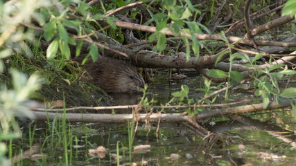 muskrat comes up from the hole