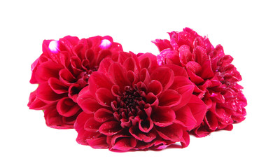 Dahlia flowers, isolated on white