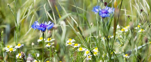 Kornblumen und Gänseblümchen